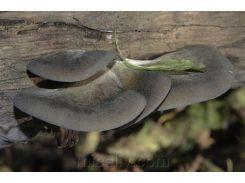 Мицелий Вешенки осенней, Pleurotus salignus 100г.