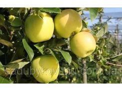 Саженцы яблони Голдан Делишес
