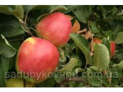 Саженцы яблони Лигольд