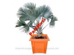Серебряная Пальма семена + инструкция по высеву семян
