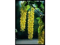Дерево Капающее Золото инструкция + подарок семена