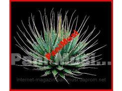 AGAWE NEOMEXSIKANO семена в подарок инструкция