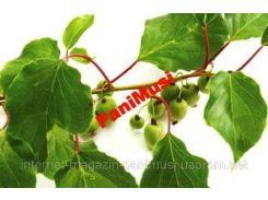 Киви морозостойкое 5шт. семян + подарок инструкция