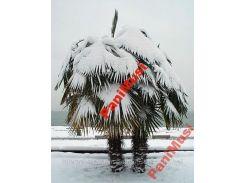 Пальма морозостойкая семена + инструкция в подарок