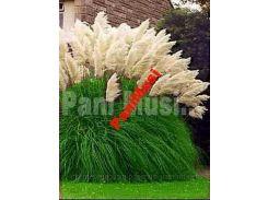 Белая пампасовая трава Красота в твоем огороде