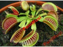 Грунт,земля Венерина Мухоловка Dionaea muscipula