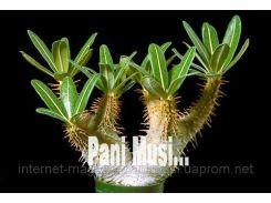 Баобаб Декоративный семена+в подарок инструкция 1ш