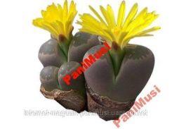 Живой Камень 10 семян + подарок инструкция высева