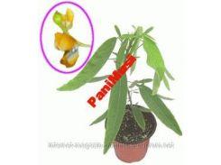 Растение Телеграф Атури цветок который танцует